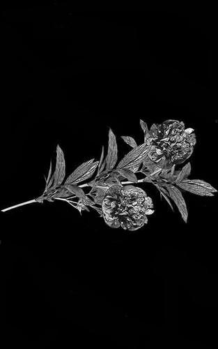 Цветы стандартные 25